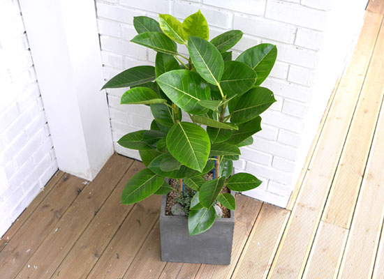 Office&Nature - FRP화분의 뱅갈고무나무