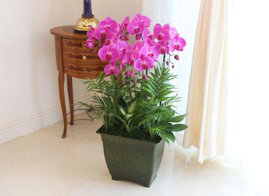 Office&Nature - 화려한 빛깔의 핑크호접란