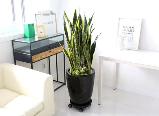 Office&Nature - 공기정화가 되는 산세베리아(대)