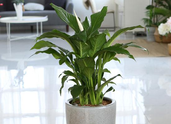 코로나이겨내자 면역력을 길러주는 식물베스트 -스파티필럼