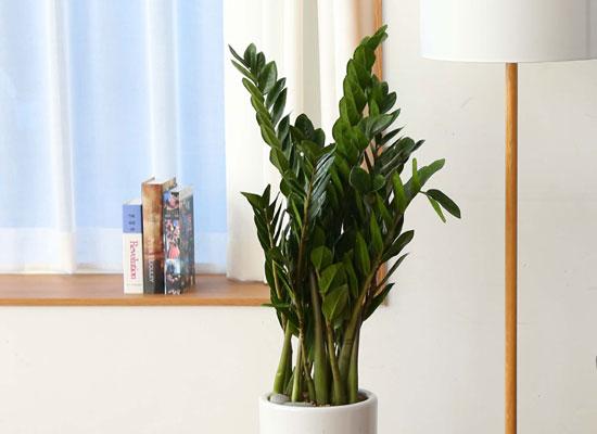 실내에서 키우기 좋고 생명력이 강한 식물 - 금전수(대)