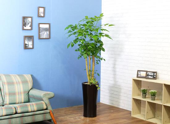 실내식물은 사람에게 좋아요 - 풍성한 산소를 주는 녹보수