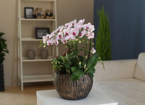 Graceful orchid flowers - 멋지고 고급스러운 서양란 홍설 (*계절에 따라 상품 변경 될 수 있습니다)