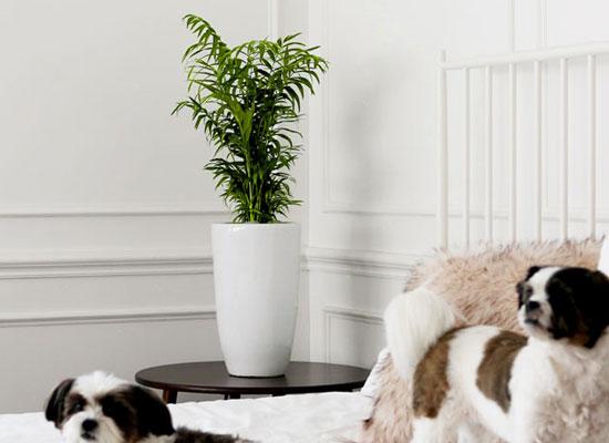 코로나이겨내자 면역력을 길러주는 식물베스트 - 테이블야자