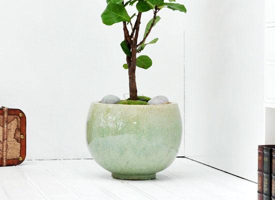 공간에 멋을 살려주는 - 떡갈고무나무(대) *화기 품절로 다른 화기로 변경됨*