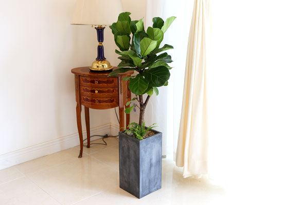 Office&Nature - FRP화분의 떡갈고무나무