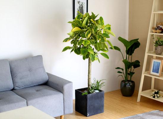 #화분을 부탁해 - 싱그러운 잎을 가진 뱅갈고무나무