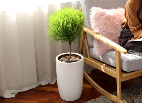 코로나이겨내자 면역력을 길러주는 식물베스트 - 율마