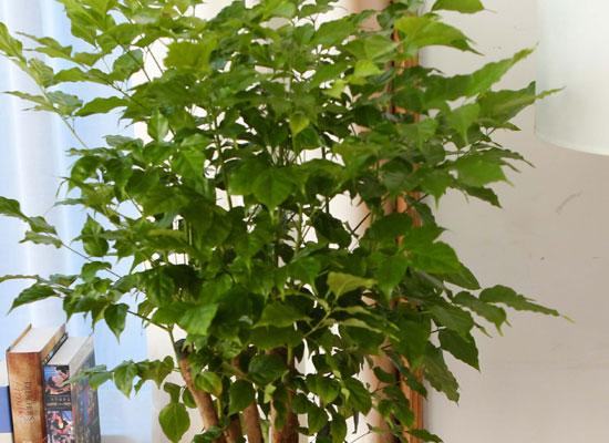 실내에서 키우기 좋고 생명력이 강한 식물 - 행복나무