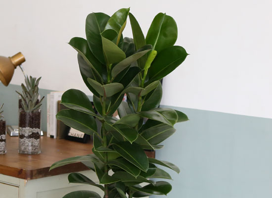 대표적인 개업축하화분 실내공기정화식물 -  실내에 적당한 관엽 광채나는잎의 고무나무