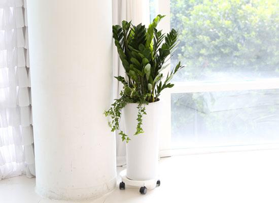 대표적인 개업축하화분 실내공기정화식물 - 부자 되세요 금전수
