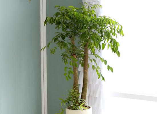 대표적인 개업축하화분 실내공기정화식물 - 행복을주는나무 해피트리