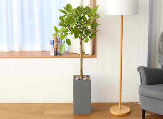 실내에서 키우기 좋고 생명력이 강한 식물 - 뱅갈고무나무