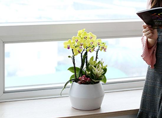 감사와 존경의 선물로 최고선물 서양란 - 노랑호접란 주피터