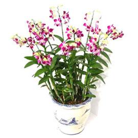 덴파레(대,보라) 꽃배달하시려면 이미지를 클릭해주세요