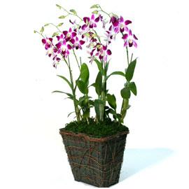 사각에 담긴 덴파레 꽃배달하시려면 이미지를 클릭해주세요