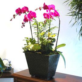 [개업축하추천]서양란(핑크 호접란) 꽃배달하시려면 이미지를 클릭해주세요