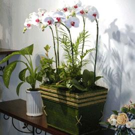 서양란(고급스런백색호접란-특)_크기가같은화기로변경됨 꽃배달하시려면 이미지를 클릭해주세요