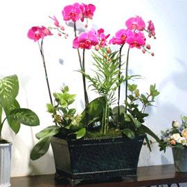서양란(핑크호접-특) 꽃배달하시려면 이미지를 클릭해주세요
