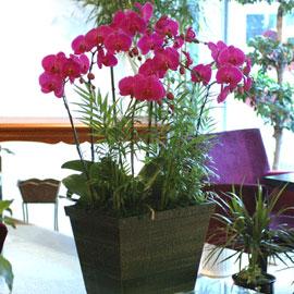 서양란(핑크 호접란- 특대) 꽃배달하시려면 이미지를 클릭해주세요