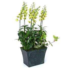 덴파레(그린) 꽃배달하시려면 이미지를 클릭해주세요