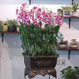 멋이있는 덴파레(고급) 꽃배달하시려면 이미지를 클릭해주세요