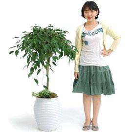 베란다에 두면 예쁜 킹벤자민 꽃배달하시려면 이미지를 클릭해주세요