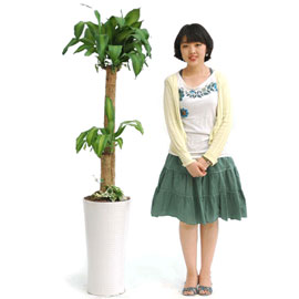 꽃이피면 행운이 온다는 - 행운목 꽃배달하시려면 이미지를 클릭해주세요