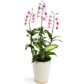 연분홍덴파레 피카소(소) 꽃배달하시려면 이미지를 클릭해주세요