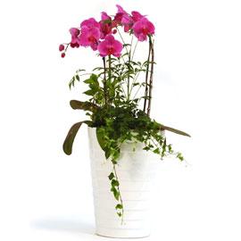 고급스런핑크호접 팔레놉시스(중) 꽃배달하시려면 이미지를 클릭해주세요