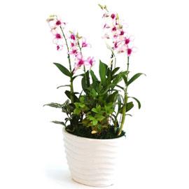 연분홍덴파레 피카소(중) 꽃배달하시려면 이미지를 클릭해주세요