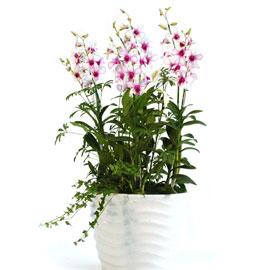 연분홍덴파레 피카소(대) 꽃배달하시려면 이미지를 클릭해주세요