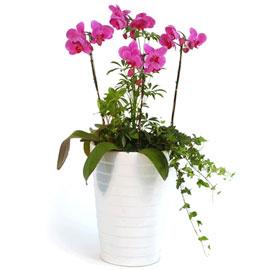 호접란 팔레놉시스(중) 꽃배달하시려면 이미지를 클릭해주세요