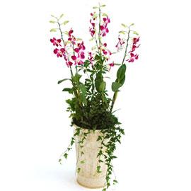 신비한덴파레 엘사쿨(중) 꽃배달하시려면 이미지를 클릭해주세요