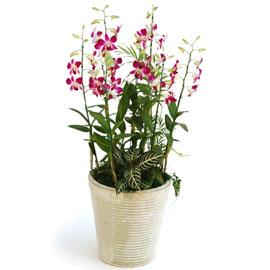 신비한덴파레 엘사쿨(특대) 꽃배달하시려면 이미지를 클릭해주세요