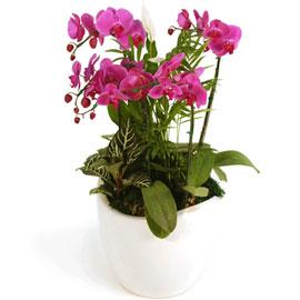 [지금계절에 딱!] 호접란 팔레놉시스(중) 꽃배달하시려면 이미지를 클릭해주세요