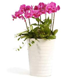 호접란 팔레놉시스(대) 꽃배달하시려면 이미지를 클릭해주세요