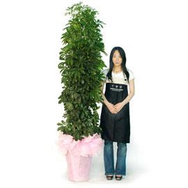 홍콩야자 꽃배달하시려면 이미지를 클릭해주세요