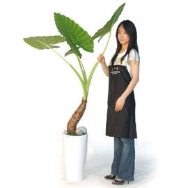 이국적인 알로카시아 꽃배달하시려면 이미지를 클릭해주세요