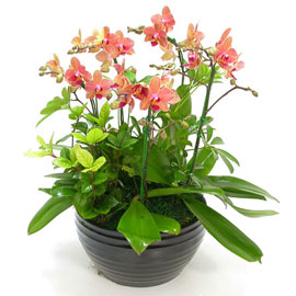 고급호접 주황 미니호접 꽃배달하시려면 이미지를 클릭해주세요
