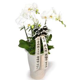 근조제단용 백색호접란 꽃배달하시려면 이미지를 클릭해주세요