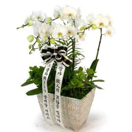 근조제단용 백색호접란(고급) 꽃배달하시려면 이미지를 클릭해주세요