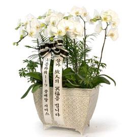 근조제단용 백색호접란(최고급) 꽃배달하시려면 이미지를 클릭해주세요