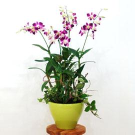 여름 추천 서양란 덴파레 꽃배달하시려면 이미지를 클릭해주세요