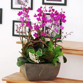 생활공간을 화려하게 - 만천홍(대) [화기변경] 꽃배달하시려면 이미지를 클릭해주세요