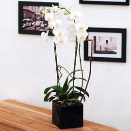 ★내책상위에 꽃 하나 - 흰색미니호접(블랙)★ 꽃배달하시려면 이미지를 클릭해주세요