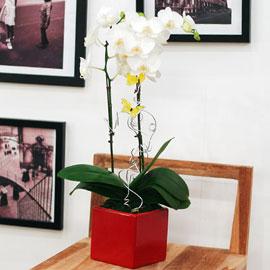 ★내책상위에 꽃 하나 - 흰색미니호접(빨강)★ 꽃배달하시려면 이미지를 클릭해주세요