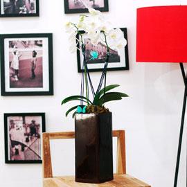 ★내책상위에 꽃 하나 - 흰색미니호접★ 꽃배달하시려면 이미지를 클릭해주세요