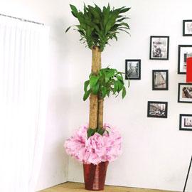 [화분강력추천] 행운목大 꽃배달하시려면 이미지를 클릭해주세요