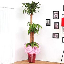 [화분강력추천] 행운목中 꽃배달하시려면 이미지를 클릭해주세요